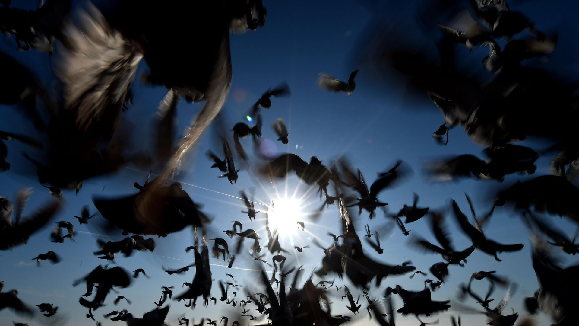 Racing pigeons in all their glory (question two) - Credit: Owen Humphreys/PA Wire