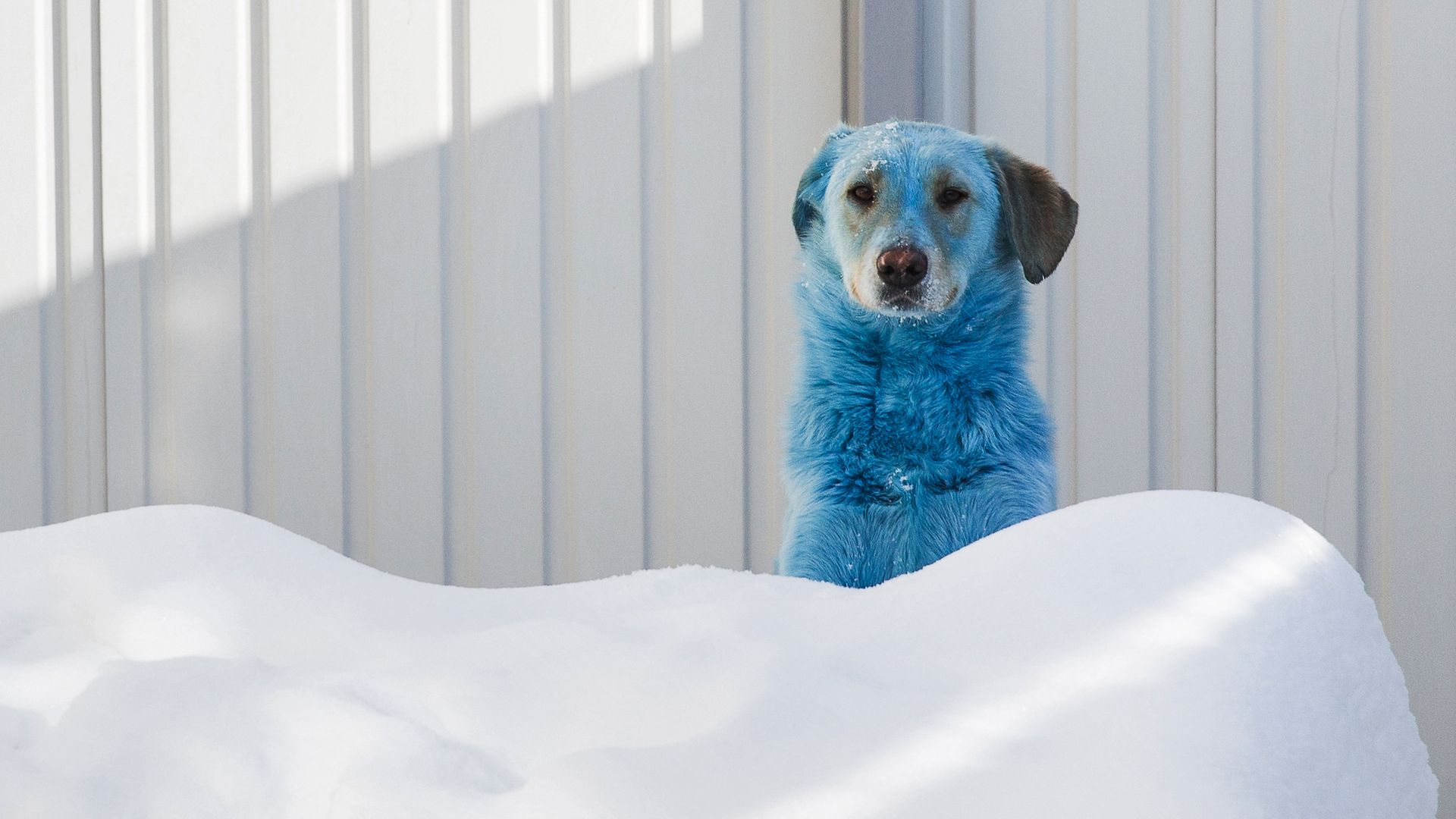 BLUE COLLAR: One of 13 stray dogs found with bright blue fur in Dzerzhinsk; the animals were taken in to the care of vets - Credit: Mikhail Solunin/TASS