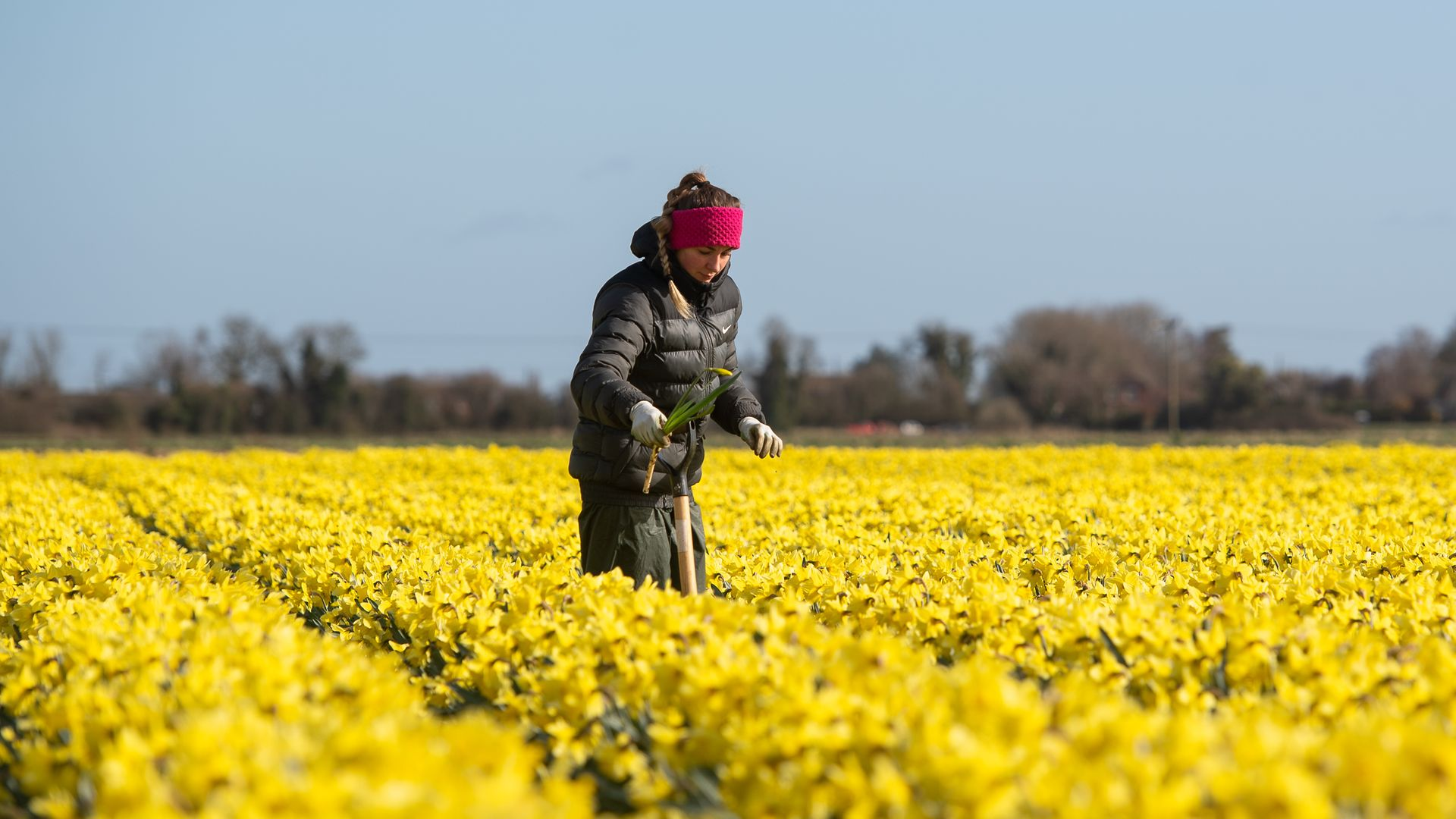 A worker makes her way along rows of daffodils, removing any rogue varieties, at Taylors Bulbs in Holbeach, Lincolnshire. - Credit: PA