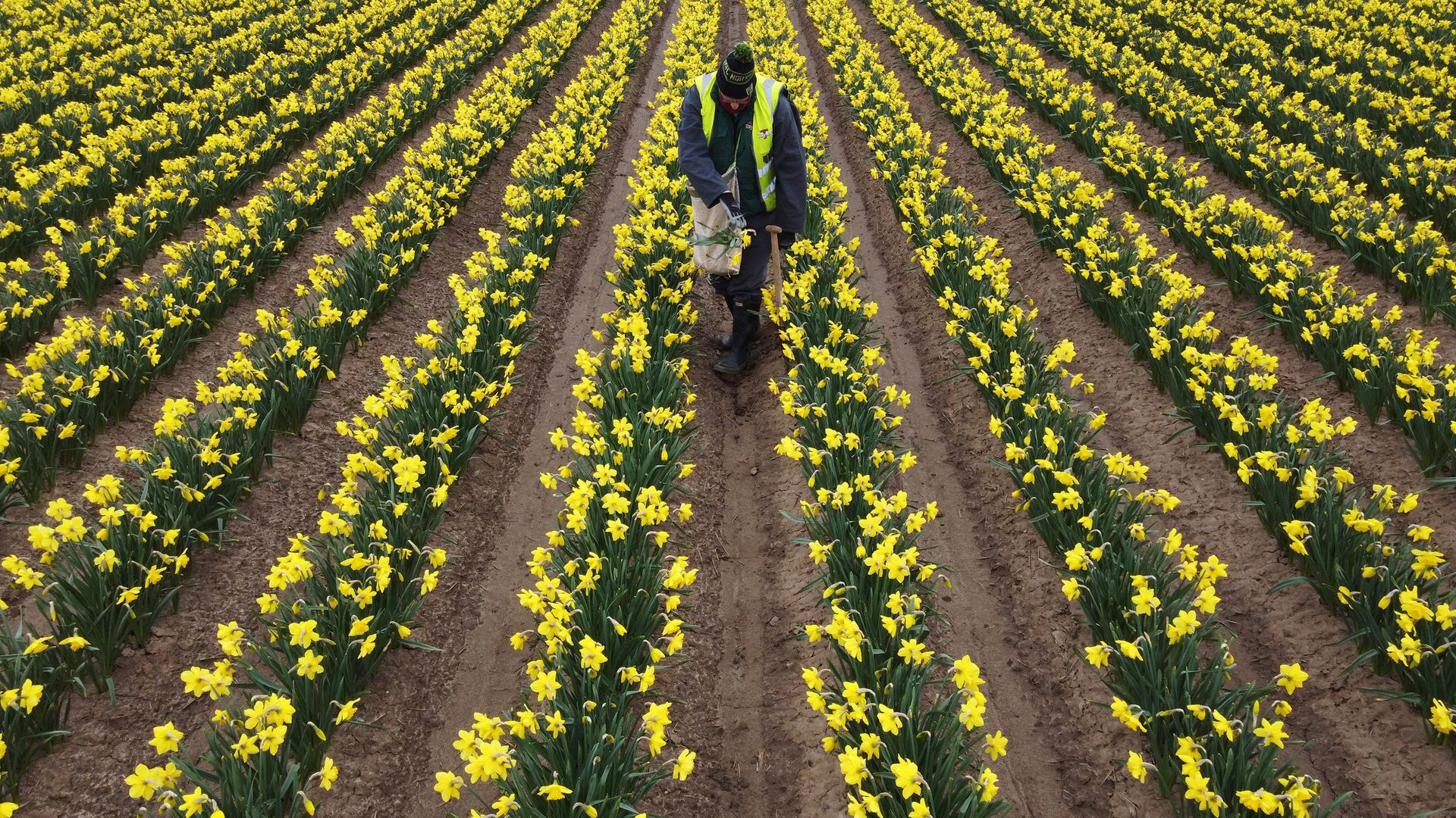 A worker rogues a field of daffodils at Taylors Bulbs near Holbeach in Lincolnshire, where the fourth generation family firm plant over 35 millions bulbs and harvest around 2.5 million cut daffodil flowers each year - Credit: PA