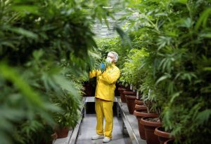 A worker inspects medicinal cannabis plants at a medical cannabis farm near Skopje, Macedonia. The country is trying to be acannabis pioneer in Europe, with the government promising a public debate on legalising marijuana and turning the country into the Amsterdam of the Balkans