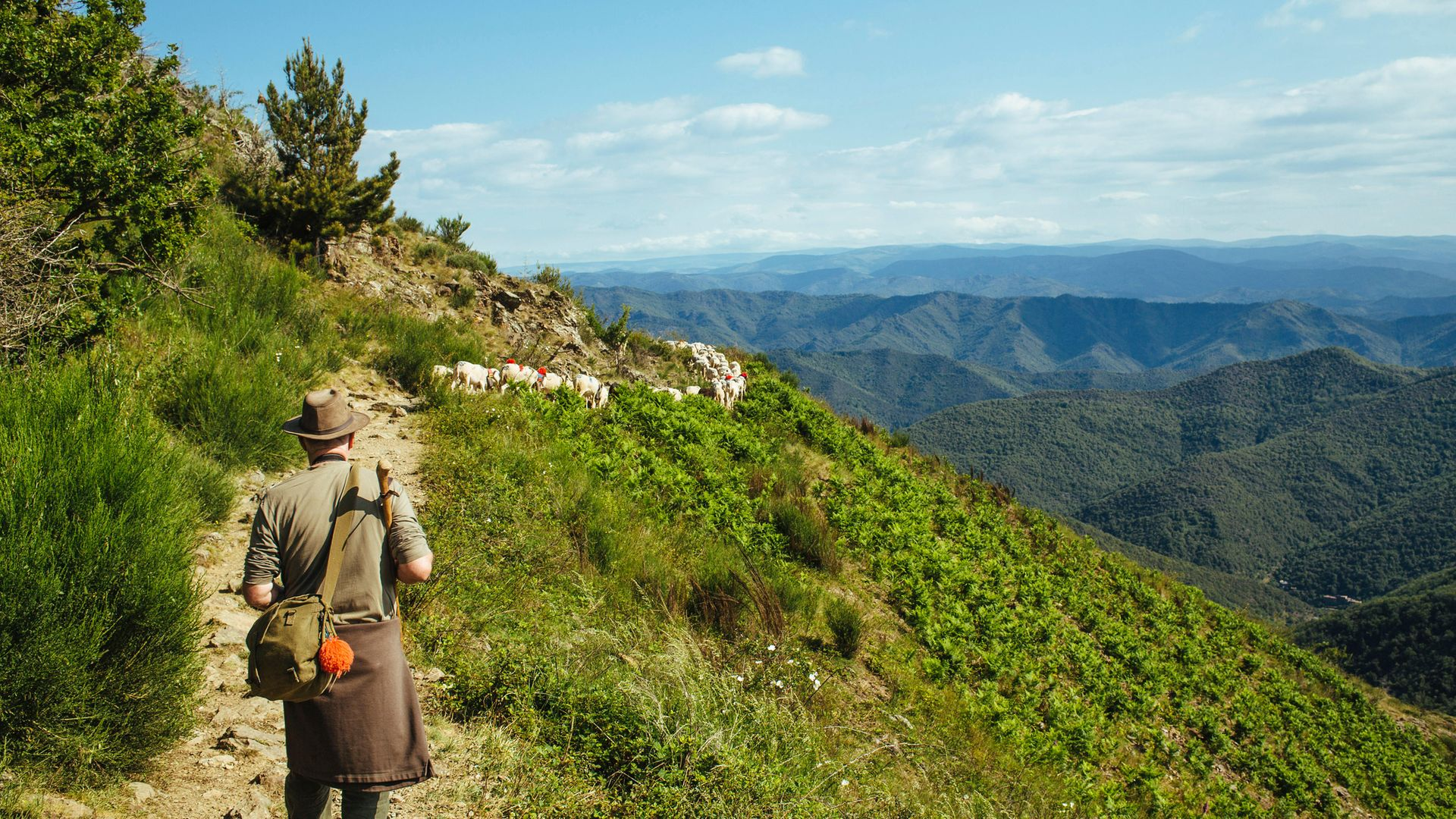 A shepherd herds a flock of sheep in the Cevennes mountain range - Credit: Universal Images Group via Getty