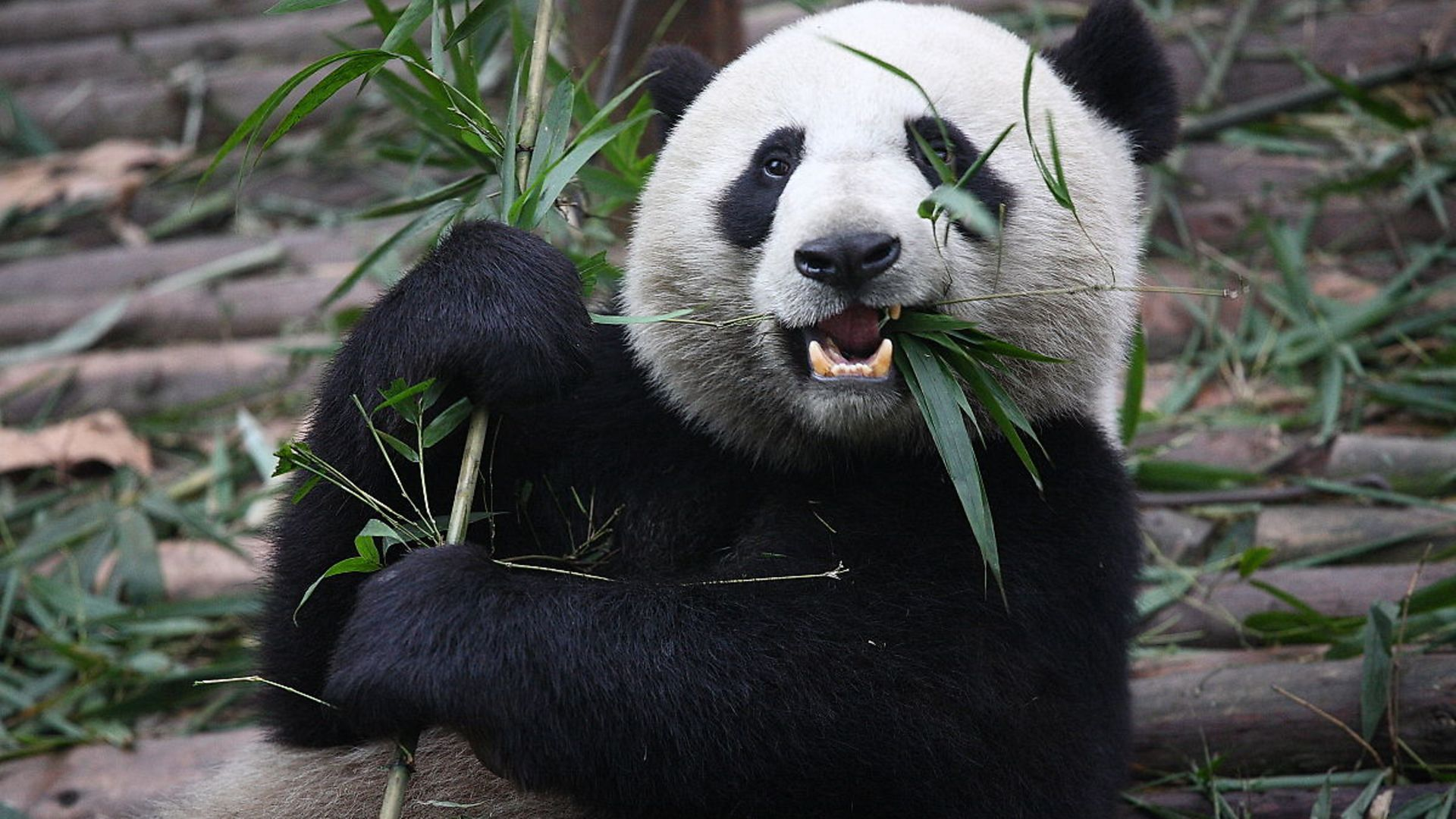Would you pander to a panda? A Giant Panda eats shoots and leaves - Credit: Wikimedia