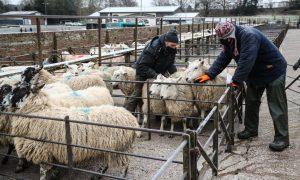 Sheep farmers wear face masks at Knighton Livestock Market in Powys. Photo:  David Davies/PA Archive/PA Images.