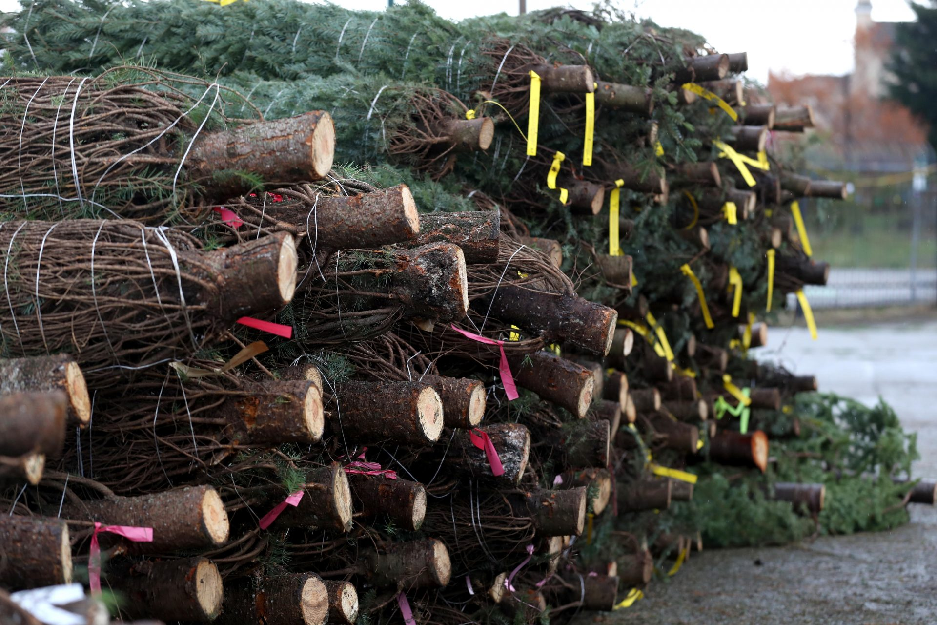 A stack of Christmas trees - which will be in short supply this year. Photograph: Getty Images.